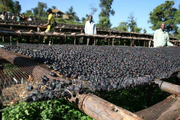 史上最高のナチュラル精製 エチオピア シダモ・グジ サワナ農園
