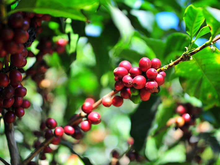 コーヒーチェリー